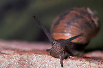 Garden Snail showing antlers & eyes, Helix aspersa.United Kingdom....