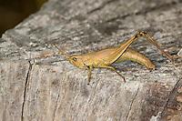 Große Goldschrecke, Weibchen legt Eier, Eiablage in Holz, Totholz, Chrysochraon dispar, large gold grasshopper