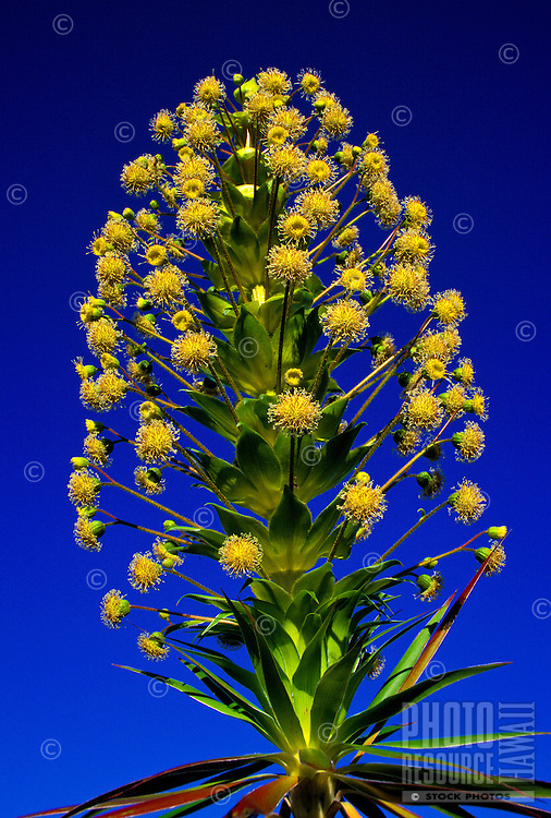 The native Iliau, (Wilkesia gymnoxiphium). endemic to kauai asteraceae, the sunflower family.