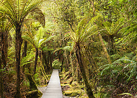 Boadwalk, track through rainforest and tree ferns, ponga, Westland Tai Poutini National Park, UNESCO World Heritage Area, West Coast, New Zealand, NZ