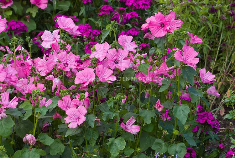 Lavatera trimestis Novella and Dianthus stocks in pink and purple color theme