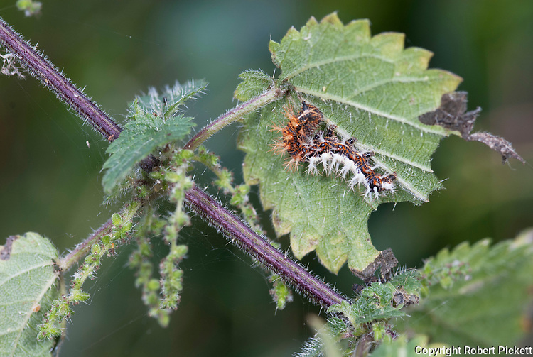 Comma Butterfly, Caterpillar, Polygonia c-album, larvae, feeding on stinging nettle, brown, white, spiky,