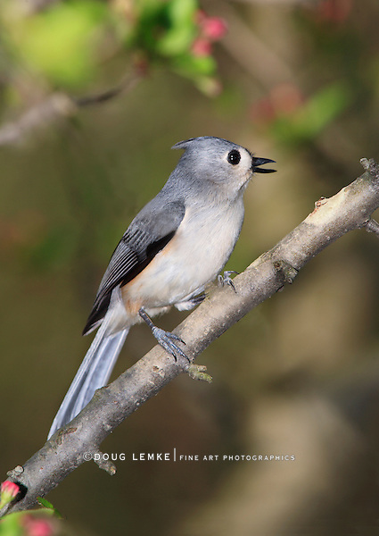 A Cute Little Bird, The Tufted Titmouse, Nicely Posing With It's Beak Open In Song, Parus bicolor