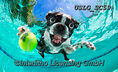 REALISTIC ANIMALS, REALISTISCHE TIERE, ANIMALES REALISTICOS, dogs, paintings+++++SethC_Rocco_320B9219work2_without,USLGSC59,#A#, EVERYDAY ,underwater dogs,photos,fotos ,Seth