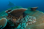 A tassled wobbegong shark, Eucrossorhinus dasypogon, sits on the coral as a manta ray, Manta birostris, passes by, Raja Ampat, West Papua, Indonesia, Pacific Ocean