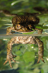 Common Toad, Bufo Bufo, floating in pond, water, showing underwater. .United Kingdom....
