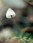 Mycena species mushroom at Kennel Vale nature reserve, Ponsanooth, Cornwall. UK.