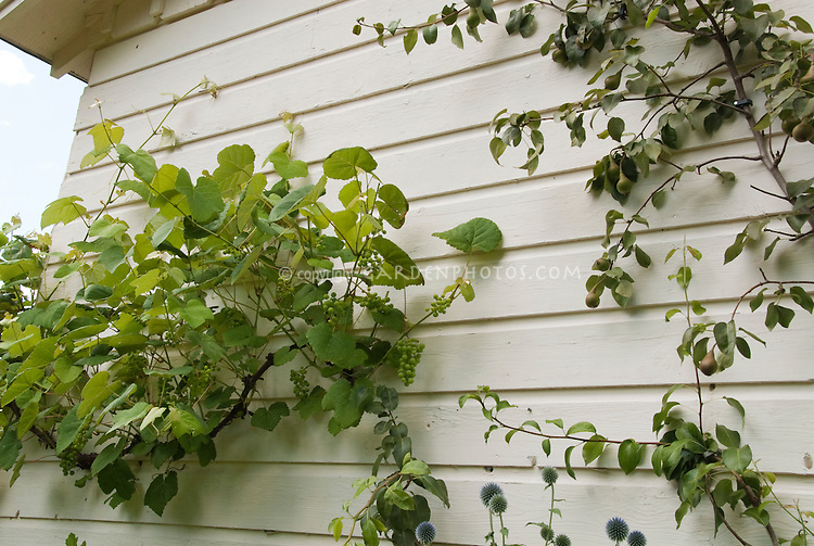 Growing fruit at home: Grape Vines and trellised pear tree against the house