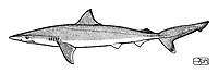 Pacific Ocean sharpnose shark, Rhizoprionodon longurio, lateral view, pen and ink illustration.