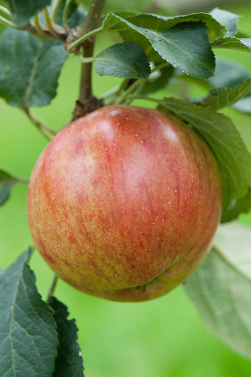 Apple 'Fortune' (syn. Apple 'Laxton's Fortune'), mid September. An English dessert apple raised in 1904 by Laxton Bros Nursery, Bedford.