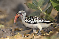 Western Red-billed Hornbill - Tockus kempi <br /> aka red-billed hornbill Tockus. erythrorhynchus