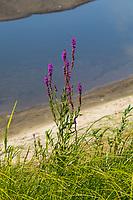 Blutweiderich, Blut-Weiderich, Gewöhnlicher Blutweiderich, Lythrum salicaria, Purple Loosestrife, Spiked Loosestrife, purple lythrum, La Salicaire, La Salicaire commune
