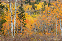Aspen and spruce trees in autumn, Wasatch Mts
