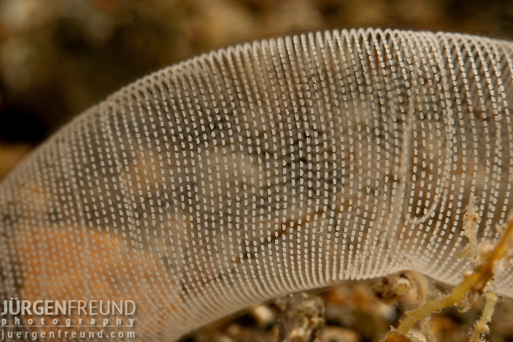 Mass of spawn of an infaunal head-shield slug (Philine sp.). Philinids live in clean sand where they ingest bivalves with their radula and crush them with their massive gizzard plates. All philinids look the same – soft, white lozenges.
