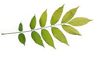 Blauregen, Chinesischer Blauregen, Chinesische Wisteria, Glyzine, Glyzinie, Glycine, Glycinie, Wisteria sinensis, Chinese wisteria, La Glycine de Chine. Blatt, Blätter, leaf, leaves