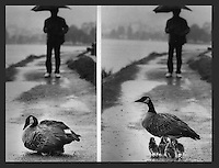 Oakland, California: Mother Canada Goose protecting her chicks from the weather and passerby along Lake Merritt in downtown Oakland.(photo 1988 by Ron Riesterer)