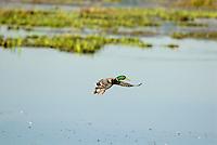 MALLARD DUCK (Anas Platyrhynchos) drake.  Pacific Northwest.  Winter.