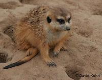 0214-08ss  Meerkat, Suricata suricatta © David Kuhn/Dwight Kuhn Photography