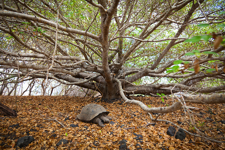 A Galapagos Tortoise on Isabela Island in the Galapagos National Park, Galapagos, Ecuador, South America