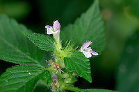 COMMON HEMP-NETTLE Galeopsis tetrahit (Lamiaceae) Height to 50cm. Upright, branched and hairy-stemmed annual with stems that are swollen at the nodes. Grows in arable fields and on verges and disturbed ground. FLOWERS are 15-20mm long and pinkish, the corolla tube being similar in length to the bristly, toothed and persisting calyx; borne in whorls (Jul-Sep). FRUITS are nutlets. LEAVES are ovate, toothed and stalked. STATUS-Widespread and locally common throughout the region.