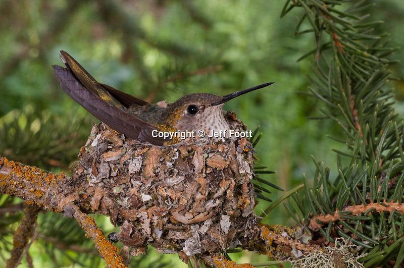 Broad-tailed Hummingbird (Selasphorus platycercus) on nest, Teton National Park.