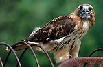 Red Tailed Hawk, Buteo jamaicensis, on old farm machinery, Minnesota, USA controlled situation.USA....