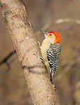 Red-bellied Woodpecker, male