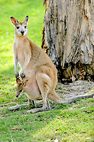 agile wallaby, or sandy wallaby, Macropus agilis, mother with joey in her pouch, South Stradbroke Island, Queensland, Australia, Oceania