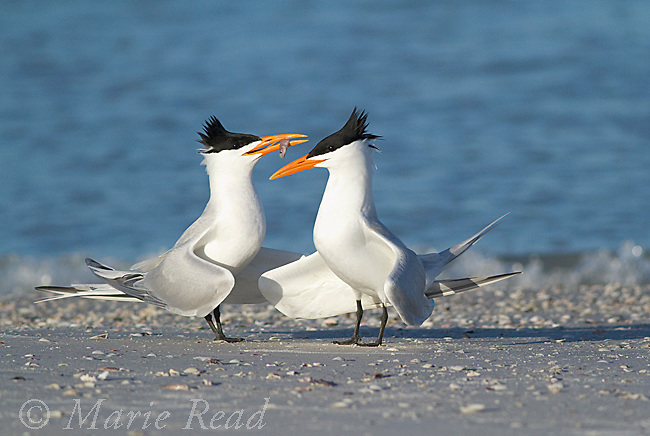 Royal Terns (Sterna maxima) pair, one offering fish during courtship behavior, Fort DeSoto Park, Florida, USA