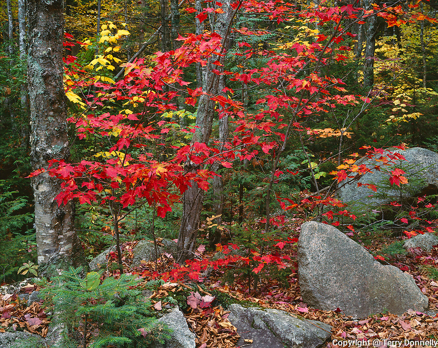 Baxter State Park, ME<br /> Red sugar maple (Acer sacchrum) leaves color a mixed hardwood forest near Daicey Pond, on the Appalachian Trail
