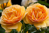 Twin yellow roses, macro with diffused light