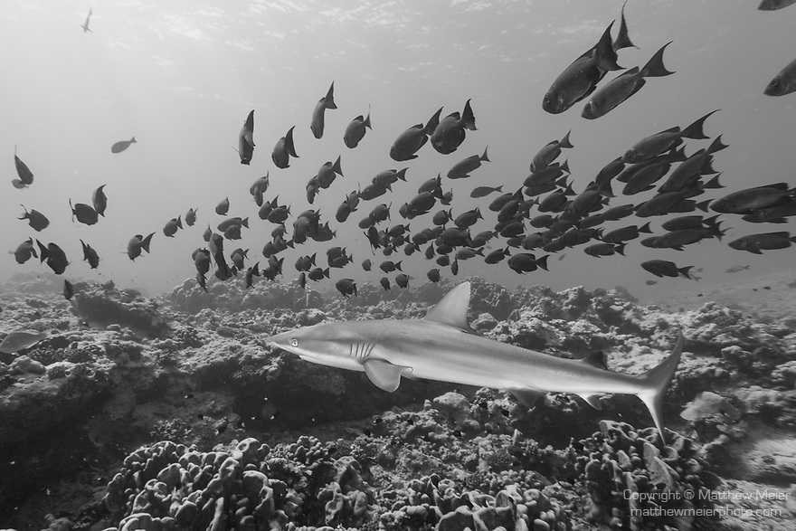 Toau Atoll, Tuamotu Archipelago, French Polynesia; a gray reef shark swimming amongst  a school of crescent-tail bigeye fish