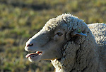sheep vocalizing