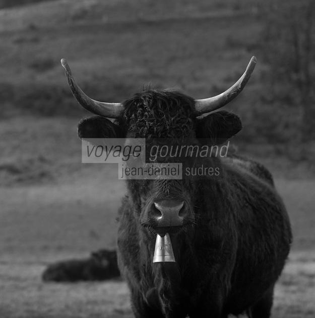 France/15/Cantal/Env de Paulhac: Vache race Salers dans les paturages du massif du Plomb du Cantal