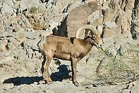 Desert Bighorn Sheep ram(Ovis canadensis nelsoni)