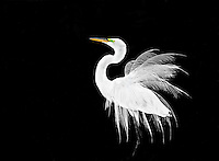 Great Egret in breeding  plumage, displaying, against black background