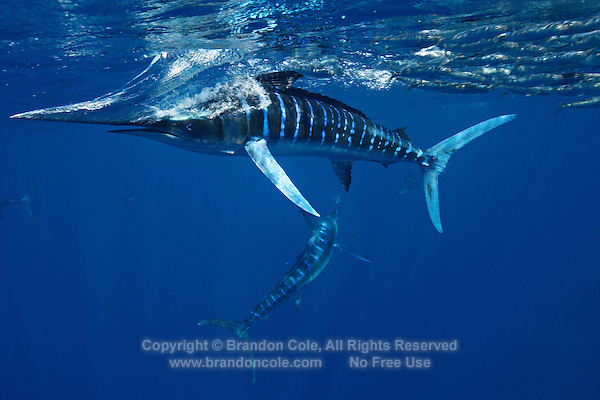 qf2492-D. Striped Marlin (Tetrapturus audax) feeding on Pacific Sardines (Sardinops sagax) slashes with bill, trying to separate one fish from the school. Baja, Mexico, Pacific Ocean..Photo Copyright © Brandon Cole. All rights reserved worldwide.  www.brandoncole.com..This photo is NOT free. It is NOT in the public domain. This photo is a Copyrighted Work, registered with the US Copyright Office. .Rights to reproduction of photograph granted only upon payment in full of agreed upon licensing fee. Any use of this photo prior to such payment is an infringement of copyright and punishable by fines up to  $150,000 USD...Brandon Cole.MARINE PHOTOGRAPHY.http://www.brandoncole.com.email: brandoncole@msn.com.4917 N. Boeing Rd..Spokane Valley, WA  99206  USA.tel: 509-535-3489