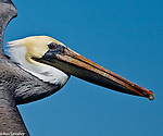 Pelicans, Cormorants, Tropicbirds and allies