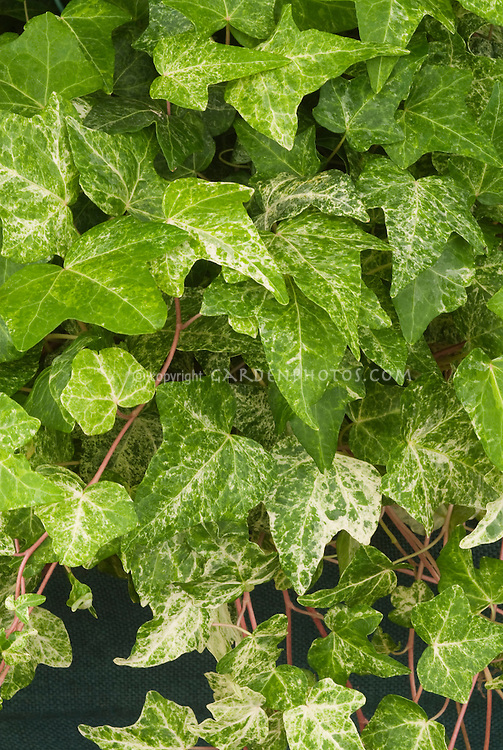 Hedera helix 'Fantasia' as a climbing ivy vine