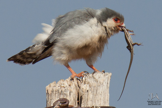 Pygmy falcon settling down to eat a lizard it just caught.