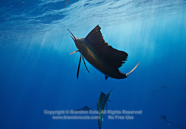 qh1190-D. Atlantic Sailfish (Istiophorus albicans). Some consider this the same species as the Indo-Pacific Sailfish (I. platypterus). Mexico, Gulf of Mexico..Photo Copyright © Brandon Cole. All rights reserved worldwide.  www.brandoncole.com..This photo is NOT free. It is NOT in the public domain. This photo is a Copyrighted Work, registered with the US Copyright Office. .Rights to reproduction of photograph granted only upon payment in full of agreed upon licensing fee. Any use of this photo prior to such payment is an infringement of copyright and punishable by fines up to  $150,000 USD...Brandon Cole.MARINE PHOTOGRAPHY.http://www.brandoncole.com.email: brandoncole@msn.com.4917 N. Boeing Rd..Spokane Valley, WA  99206  USA.tel: 509-535-3489