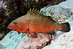 Epinephelus guttatus, Red hind, Grand Cayman
