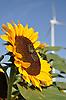 Biene auf einer Sonnenblume, Windrad im Hintergrund
