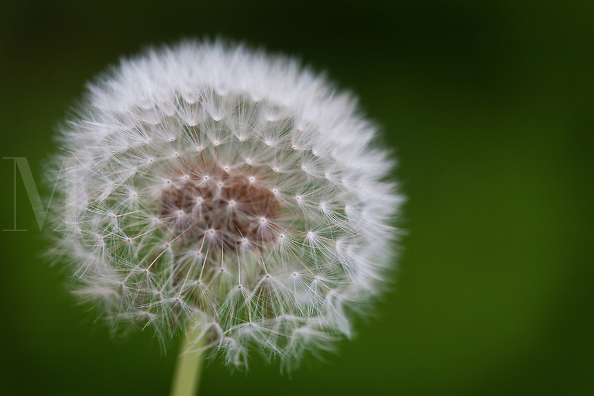 dandelion flower, parachute ball against green back drop