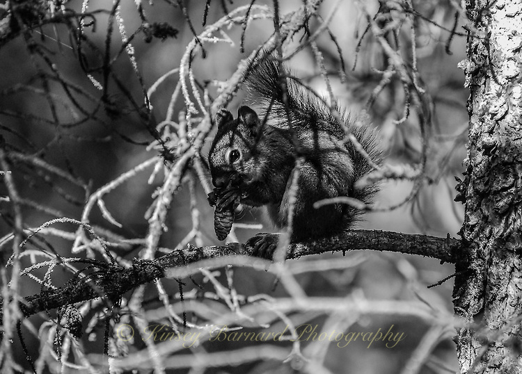 Tiny squirrel chewing on an pine cone high up in a tree at Jasper NP Alberta