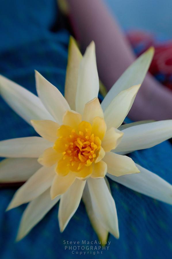 Close-up view of water lily, Dal Lake, Srinagar, Kashmir, India.