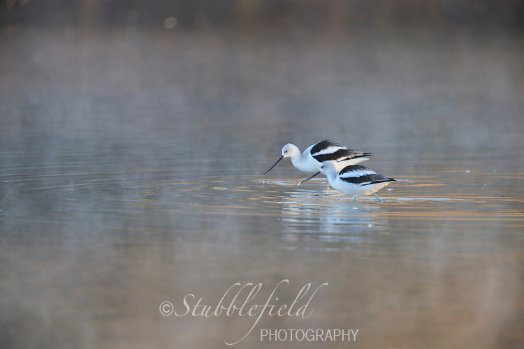 American Avocet (Recurvirostra americana), in winter plumage foraging in the early morning fog at Riparian Preserve at Water Ranch in Gilbert, Arizona.