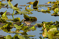 "Spotted Sandpiper (Actitis macularius) standing on ""wocus"" or yellow pond lily leaf.  Klamath Marsh National Wildlife Refuge, Oregon.  June."