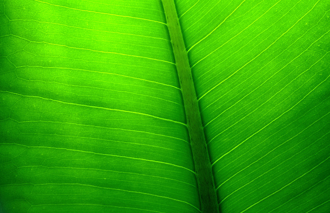 Gros plan d'une feuille. *** Close-up of green leaf