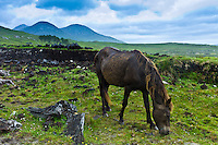 Connemara pony grazing on hill slope, Connemara, County Galway, Ireland
